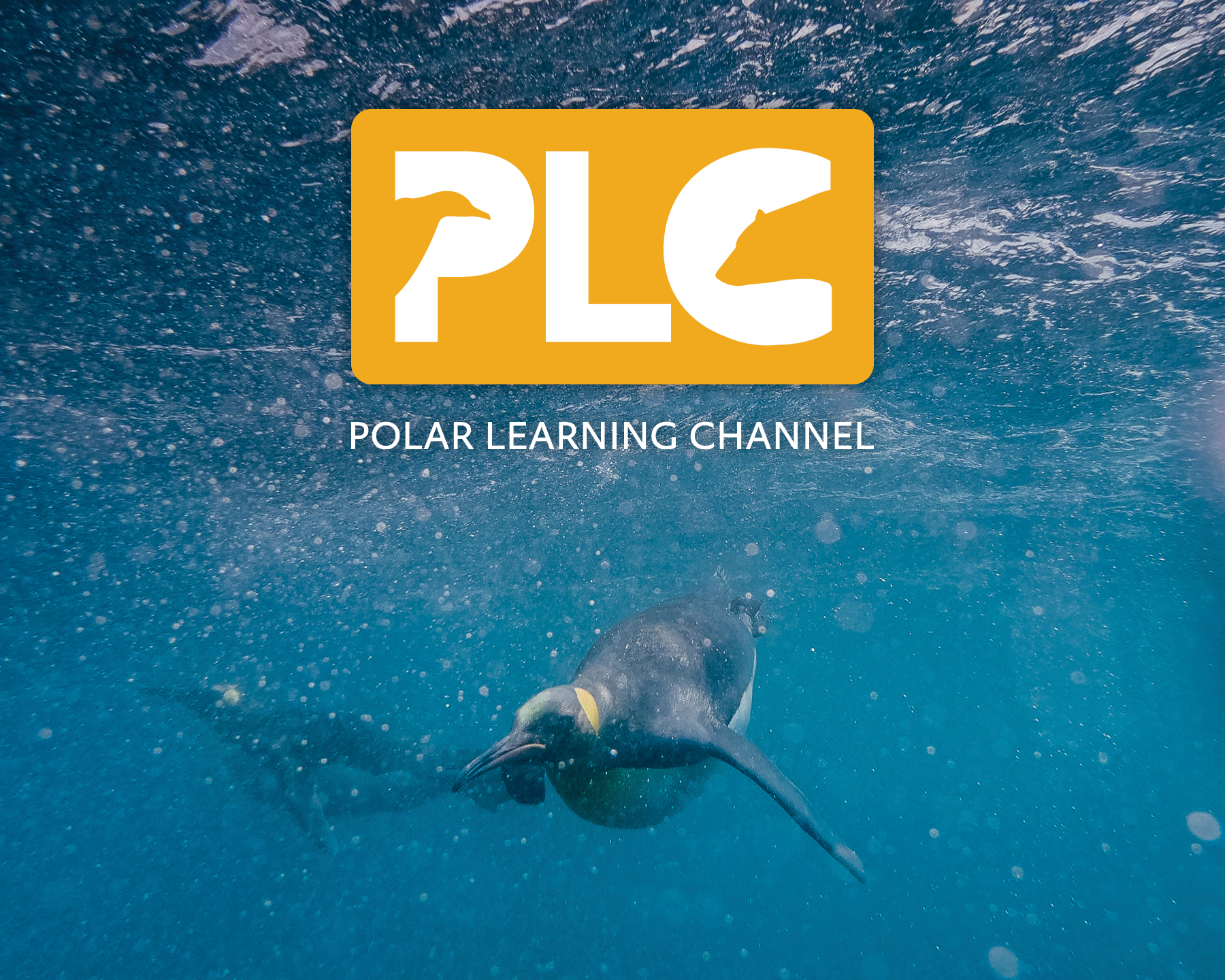 King penguin underwater, besides PLC logo