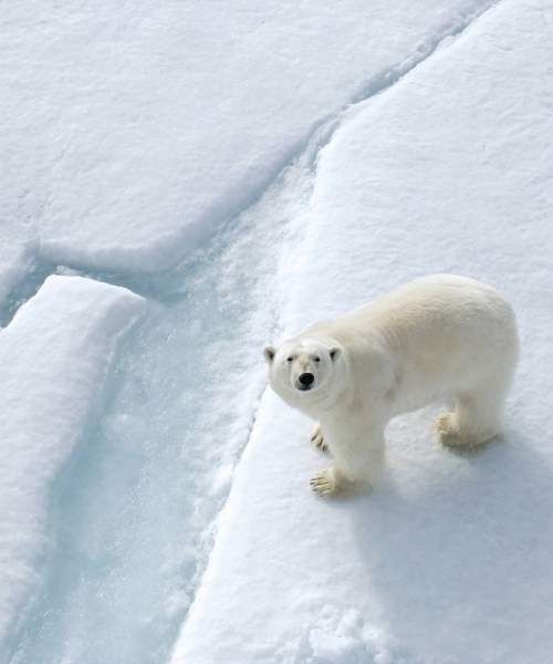 A polar bear roams the icescapes of Spitsbergen in the Svalbard archipelago of Arctic Norway