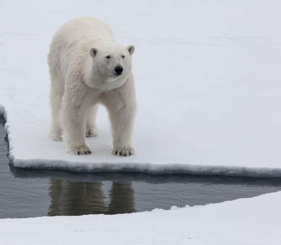A polar bear looks up to the camera from the edge of an ice floe.